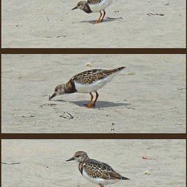 Mother Nature - Ruddy Turnstone - Arenaria interpres