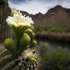 Gerry Groeber - Saguaro Bloom