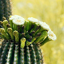 Ruth Jolly - Saguaro blooms