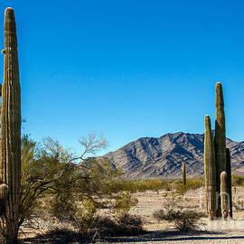 Robert Bales - Saguaro Cactus In The Sonoran Desert