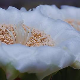 Ed  Cheremet - Saguaro Flowers in Macro