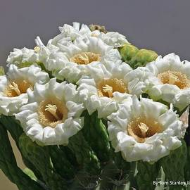 Tom Janca - Saguaro Flowers