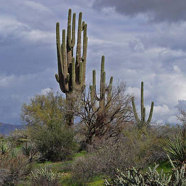 Tom Janca - Saguaro Forest At Sycamore Creek