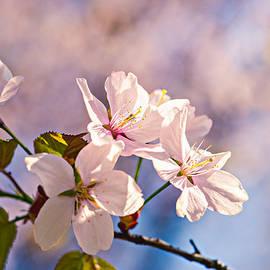 Alexander Senin - Sakura Mists