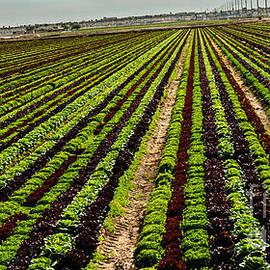Robert Bales - Salad Bowl Lettuce