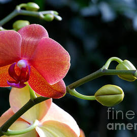 Nancy Mueller - Salmon Pink Orchid and Buds