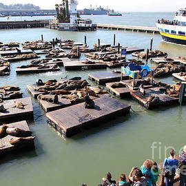 Wingsdomain Art and Photography - San Francisco Pier 39 Sea Lions 5D26116