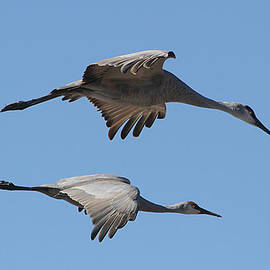 Tom Janca - San Hill Cranes Love To Fly