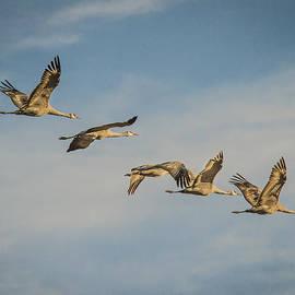Jean Noren - Sandhill Cranes Flying