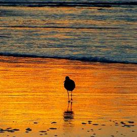 Cindy Croal - Sandpiper in Golden Dawn Surf