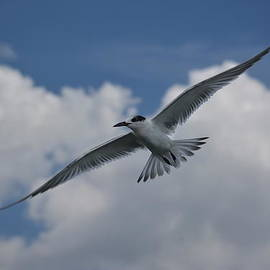 Don Columbus - Sandwich Tern