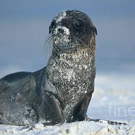 Chris Scroggins - Sandy Sea Lion