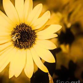 Tim Richards - Santa Fe Sunflower 2