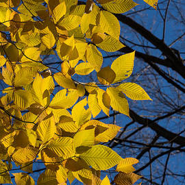 Georgia Mizuleva - Sapphire and Gold - Blue Sky Golden Leaves and Bright Sunlight