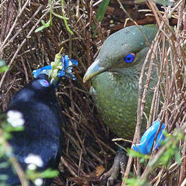 Margaret Saheed - Satin Bowerbirds - The Courting Gift