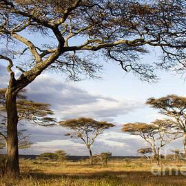 Chris Scroggins - Savanna Acacia Trees