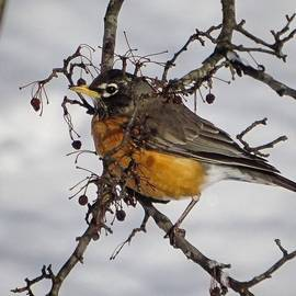 Randall Allen - Saw This Robin Out Back Eating The