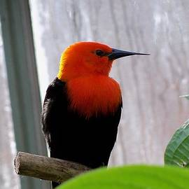 Lingfai Leung - Scarlet-headed Blackbird
