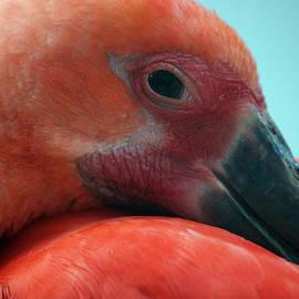 Jake Danishevsky - Scarlet Ibis
