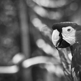 Bradley R Youngberg - Scarlet Macaw At Sunset Black And White