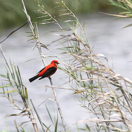 Travis Truelove - Scarlet Tanager by the Sea