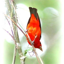 Travis Truelove - Scarlet Tanager - Different View