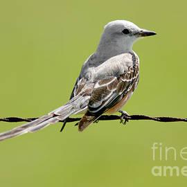 David Cutts - Scissor-tailed Flycatcher