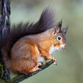 Grant Glendinning - Scottish Red Squirrel