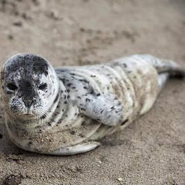 David Millenheft - Seal Baby