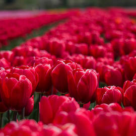 Jordan Blackstone - Sea of Red Tulips