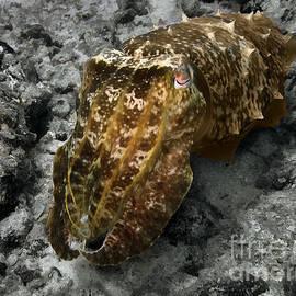 Sergey Lukashin - Cuttlefish