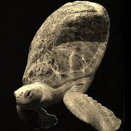 Karinna Marvill - Sea Turtle
