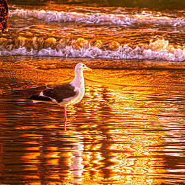 Denise Dube - Seagul reflects on a Golden Molten Shore