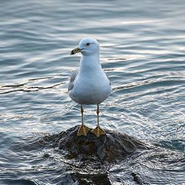 Jocelyn Ball - Seagull and Rays