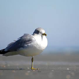 John Strobel - Seagull