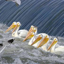 Jeff  Swan - Seagulls Intrude Upon The Pelican Social Gathering