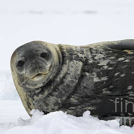 Nina Stavlund - Seal of the South...