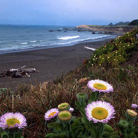 Kathy Yates - Seaside Daisies on Moonstone Beach
