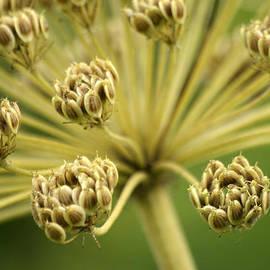 Jolly Van der Velden - Seeds