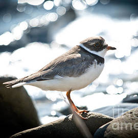 Cheryl Baxter - Semipalmated Plover