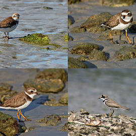 Dawn Currie - Semipalmated Plover