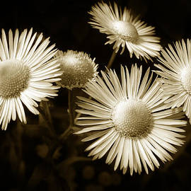 Christina Rollo - Sepia Flowers