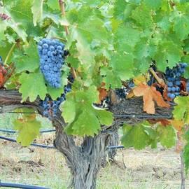 September Grapes