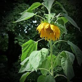 MTBobbins Photography - September Sunflower