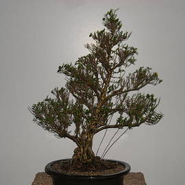 Ricks  Tree Art - Serissa bonsai tree 18 years old from a cutting