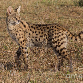 Chris Scroggins - Serval Cat 3