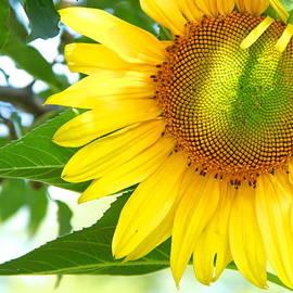 Robin Erisman - Shades of a Sunflower