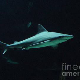 Gary Gingrich Galleries - Shark-09451