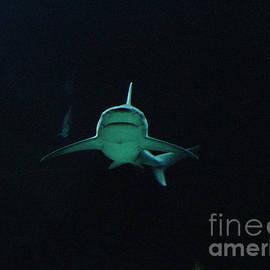 Gary Gingrich Galleries - Shark-09454
