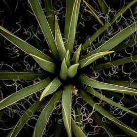 Steven Milner - Sharp Points - Yucca Plant